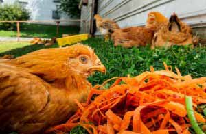 Chicken from an Amish farm in NY dines on 4-star carrots. (Image: NYTimes)