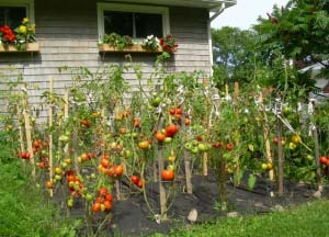 Multicolored Tomato Garden at Home