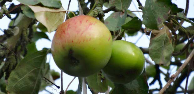 Apples hanging in tree
