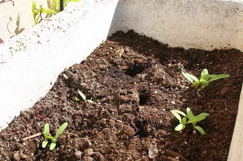 Chard growing on the terrace (Photo: Marja Öberg)