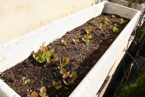 Lettuce growing in composted soil on terrace